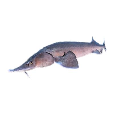 Beluga fish meat sturgeon - Iranian Caspian sea Caviar